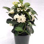 adelaparvu.com-despre-Iasomia-de-Madagascar-Stephanotis-floribunda-text-Carli-Marian-4.jpg