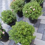 crizantema-40-cm-e1598430768679.jpg