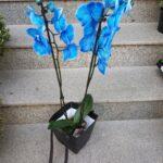 orhidee-phalaenopsis-albastra_2949_1_1539282833.jpg