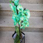 orhidee-phalaenopsis-mov-2951_2951_1_1539285247.jpg