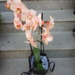 orhidee-phalaenopsis-roz-2953_2953_1_1539285585.jpg