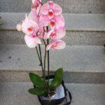 orhidee-phalaenopsis-verde-2952_2952_1_1539285454.jpg