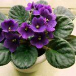 violete.jpg