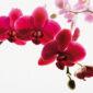 Orhideea, cum se realizează replantarea într-un mod profesionist
