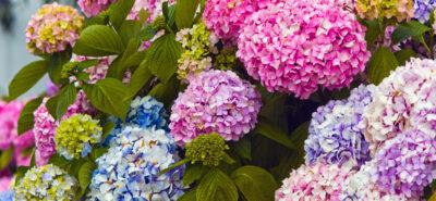 Hortensii, 6 informații interesante despre arbustul viu colorat plin de flori
